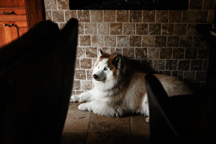 husky tirado en el suelo